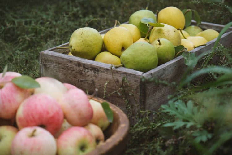 harvesting-pears-and-apples